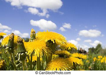 flor, dandelion, ligado, céu