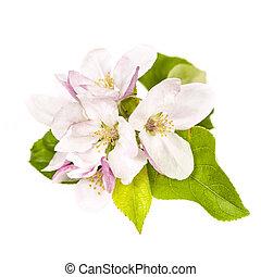 flor de apple, aislado