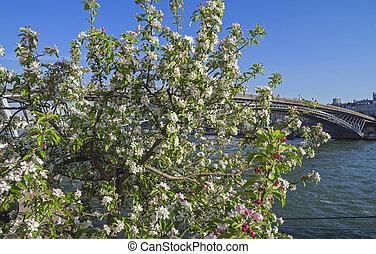 flor de apple, en, el, bancos, de, el, jábega, en, paris.