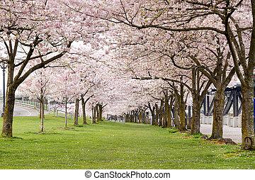 flor de cerezo, árboles, en, parque de costa