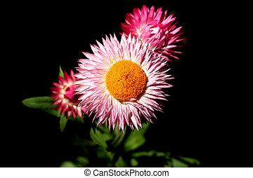 flor, de, el, tierras altas