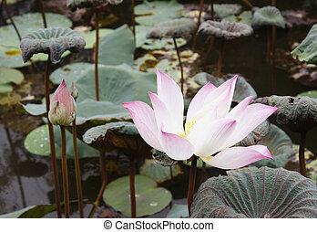 flor de loto, y, flor de loto, plantas