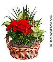 flor de nochebuena, arreglo, en, cesta