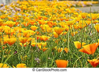 flor de primavera, cama, (eschscholzia, californica).