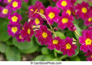 flor de primavera, cama, -, primula, elatior