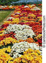 flor de primavera, cama, (tropaeolum, majus, cvs.).