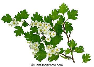 flor, de, um, hawthorne, árvore