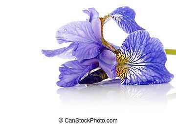 flor, de, un, azul, iris.
