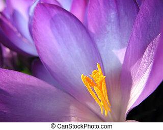 flor, dentro, açafrão