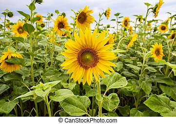 flor florescente, -, girassol, agriculture.