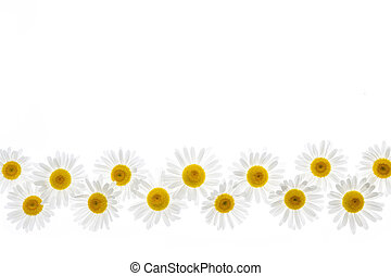 flor, frontera, margarita