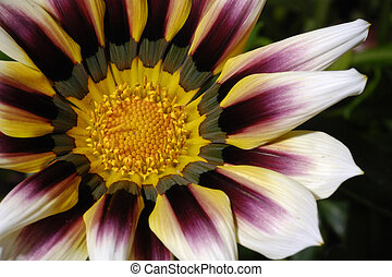 flor,  Gazania