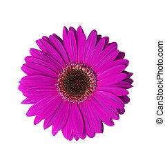 flor, gerbera, violeta