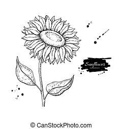 flor, girasol, drawing., aislado, ilustración, mano, fondo., vector, dibujado, blanco