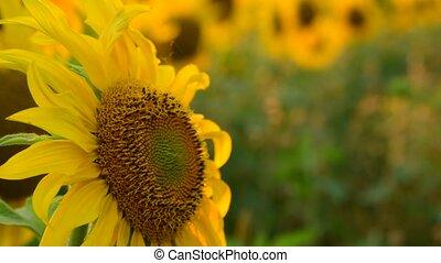 flor grande, pôr do sol, girassol