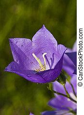 flor, hierba verde, bluebell