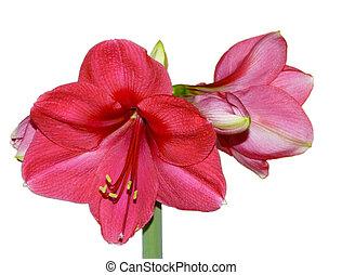 (, flor, hippeastrum, amaryllis)