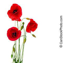flor, isolado, fundo, papoula, branco vermelho