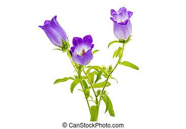 flor, isolado, sino