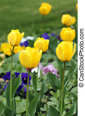 flor, jardín, primavera, amarillo, tulipán, estación