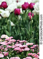 flor, jardín, primavera, estación, tulipán, margarita