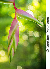 flor, jengibre, heliconia, 'sexy, pink', rostrata