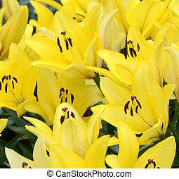 flor, lírio, amarela