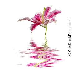 flor, lírio