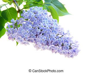 flor, lilás