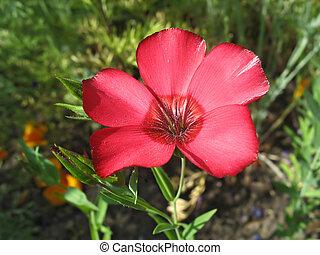 flor, lino, contra, fondo verde, pasto o césped, rojo