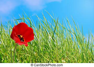 flor, longo, tulipa, verde, capim, vermelho