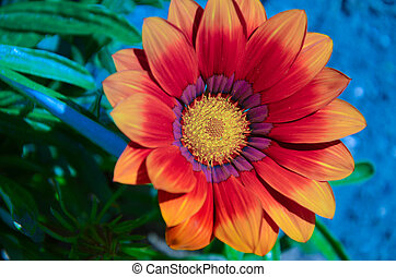 flor, luminoso, laranja, planta,  Gazania, jardim