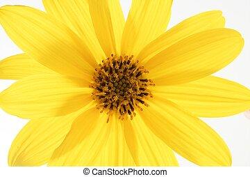 flor, macro, amarela, estúdio, margarida, tiro