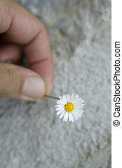 flor, macro, detalhe, mão, margarida, homem