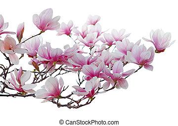 flor, magnólia