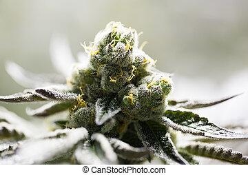 flor,  marijuana, brotes