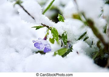 flor mola, neve coberta