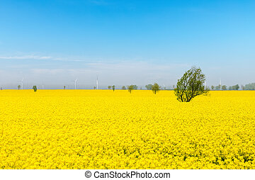 flor mola, rapeseed, campo