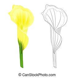 flor, natural, esboço, amarela, vector.eps, lírio calla