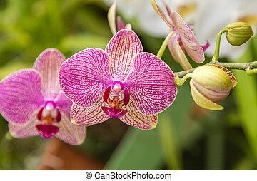 flor, natural, primavera, tropicais, fundo, orquídea