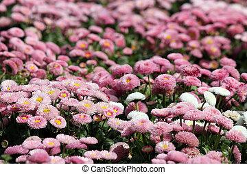 flor, natureza, primavera, estação, fundo, margarida