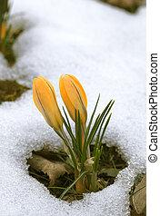 flor, neve, açafrão