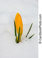 flor, neve, amarela, açafrão