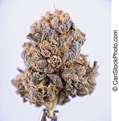 flor, noir, sobre, strain), isolado, cannabis, secado, ...