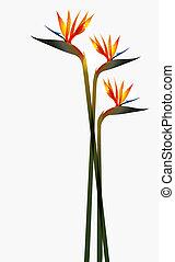 flor, pássaro, paraisos , isolado