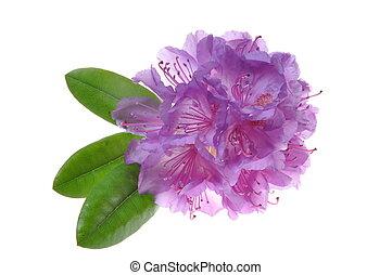 flor, púrpura, rodedendron