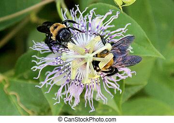 flor, paixão, dois, bumblebees