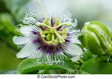 flor paixão, (passiflora, incarnata), ilustrado, para, uso, em, agricultura