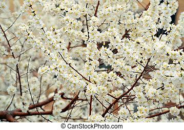 flor, parque, beihai, cereza
