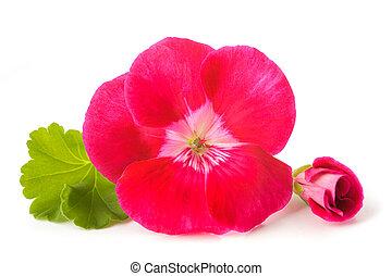 flor, pelargonium
